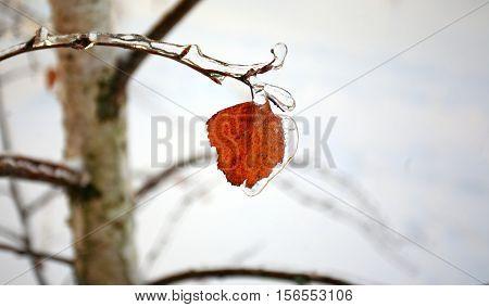 Birch yellow leaf under icy incrustation on a branch