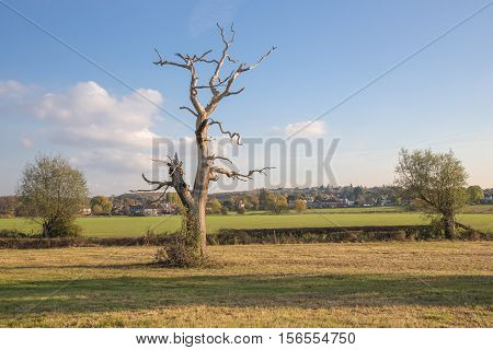 Dead tree still standing in the Essex countryside in autumn