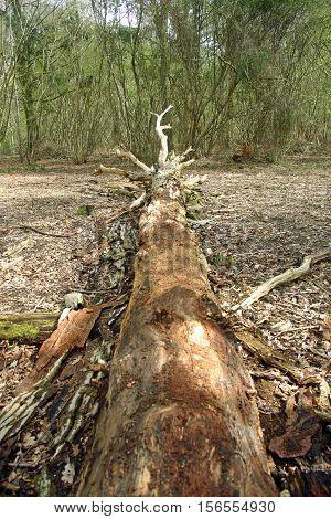 Fallen Rotting Tree