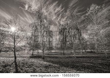 A B&W an orchard of aspen trees in autumn near Plummer Idaho.