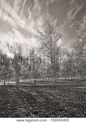 B&W of aspen trees near Plummer Idaho.