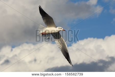 Seagull flying with open wings over blue sky with clouds.