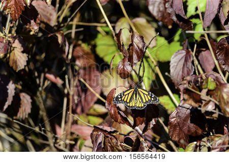 Monarch butterfly wings spread in autumn sunlight