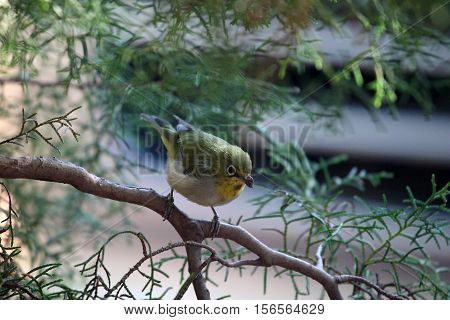 A White-breasted White-eye (Zosterops abyssinicus) in a juniperus bush in Africa.