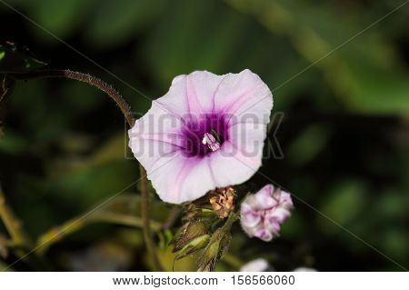 Flower of the morning glory Ipomoea jaegeri in Africa.
