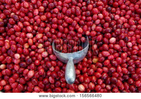 Mound of loose red cranberries with metal scooper