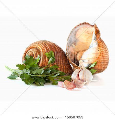Giant Tun Snails Isolated