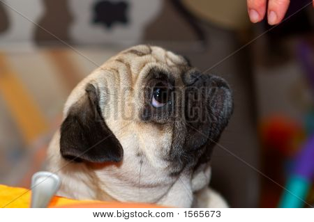 Pug With Fingers