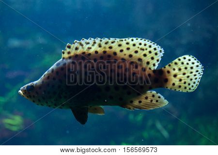 Humpback grouper (Cromileptes altivelis), also known as the panther grouper.