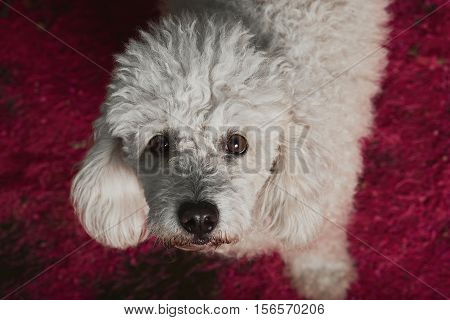 White Poodle Dog On Pink Background