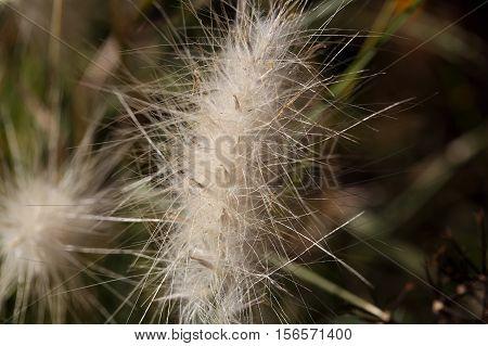 An old spike of the grass Lagurus ovatus