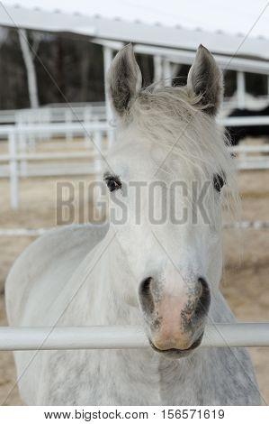 Close-up head of a dapple purebred boulonnais horse in a pen White Marble Horse