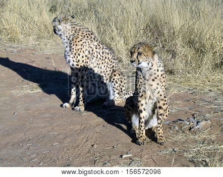 Cheetah in in a field in Namibia