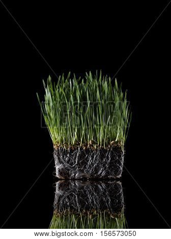 Still Life of Wheat Grass Plant with Roots on Black Background