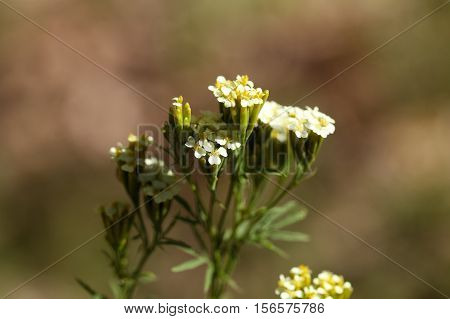 Flowers of Tagetes minuta culinary herb in different South American countries.