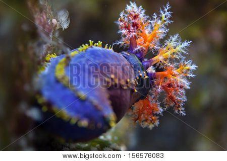 Australian sea apple (Pseudocolochirus axiologus).