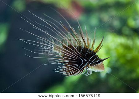 Spotfin lionfish (Pterois antennata), also known as the broadbarred firefish.