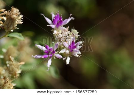 Flower of a succulent plant in Ethiopia maybe Kleinia squarrosa??