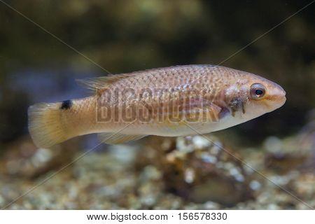 Goldsinny wrasse (Ctenolabrus rupestris). Marine fish.