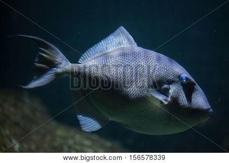 Grey triggerfish (Balistes capriscus). Marine fish.