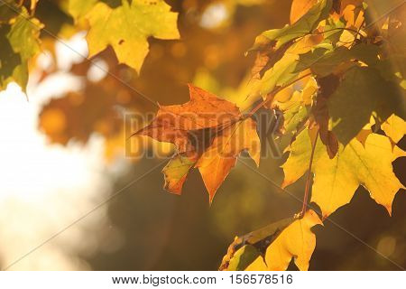 Sunlight casting off of colorful fall leaves