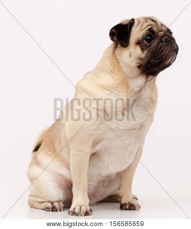 Funny Pug dog isolated in white background