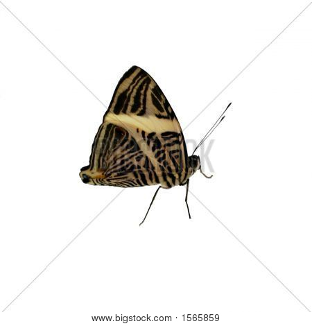 Pretty Butterfly Isolated On A White Background