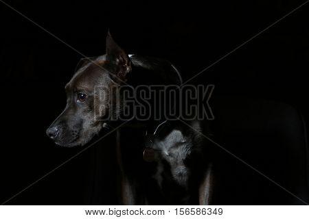 dark brown black puppy dog white chest