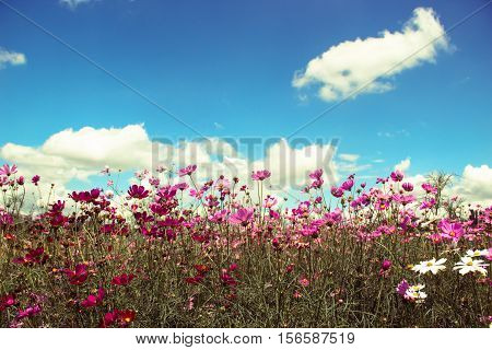 Field of colorful cosmos flowers with blue sky