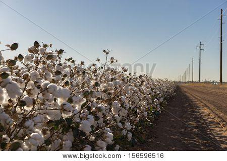 Cotton bud crop in full bloom