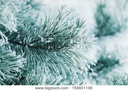 Winter background of pine branch in the snow and frost on a cold day. Macro nature. Holiday concept.