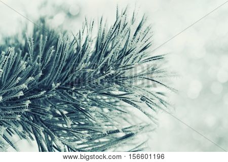 Winter background of green pine branch in the snow and frost on a cold day. Macro nature.