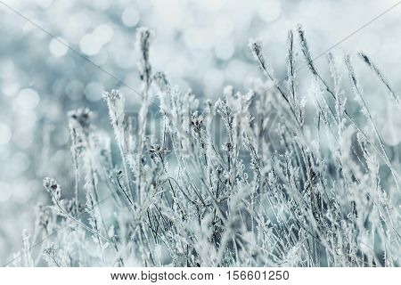 Winter landscape or background of blue flowers in the snow and frost on a cold day. Macro nature. Beautiful snowbound meadow.