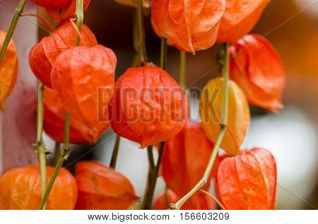 Physalis alkekengi for sale at  Holland water market