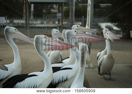 Pelicans begging for food on pier in National park Croajigolong, in Victoria, Australia