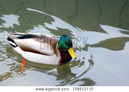 Mallard (Anas platyrhynchos) male swimming in river.