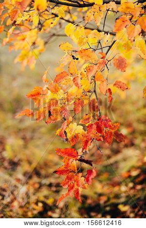 Background Texture Of Yellow Leaves Autumn Leaf Background. Yell