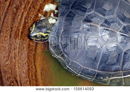 The pond slider (Trachemys scripta), common, medium-sized semi-aquatic turtle. Red-eared turtles. Thailand.