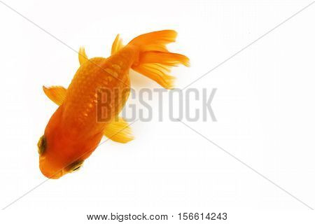 high quality image of goldfish swimming isolated on white background
