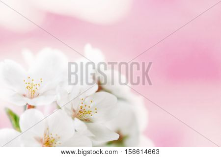 Cherry blossom flower really close up. Shallow depth of field. Soft focus.