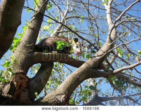 Possom In Tree 3