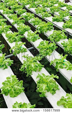 Hydroponic vegetables growing in greenhouse, vegetables non toxic green food organic