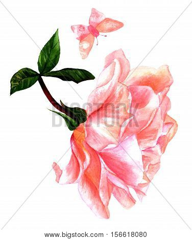 Watercolor drawing of tender pink rose flower with butterfly, isolated on white, hand painted in the style of vintage botanical art. Decorative element for greeting card or wedding invitation