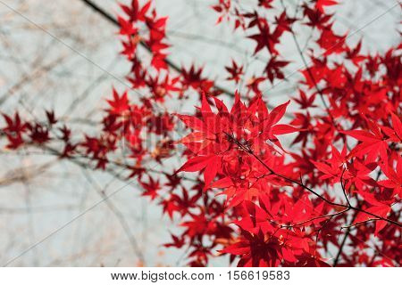Deep red Japanese maple leafs translucent and glistening with sunlight . Focus on foreground. Shallow depth of field.