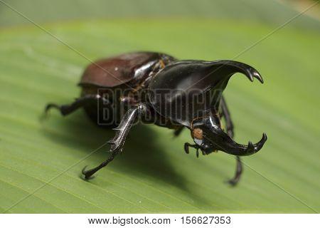 Rhinoceros beetle (Allomyrina dithotomus) with nice background green