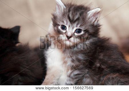Kitty portrait. Closeup of nice small gray kitty