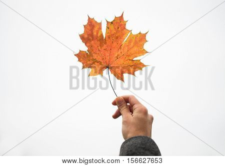 season, nature and people concept - close up of woman hand holding autumn maple leaves over white