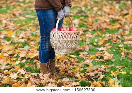 farming, gardening, harvesting and people concept - woman holding basket of apples at autumn garden