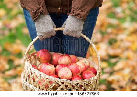 farming, gardening, harvesting and people concept - close up of woman holding basket of apples at autumn garden