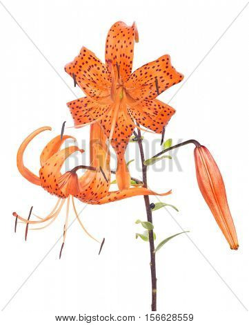 orange lily flower isolated on white background